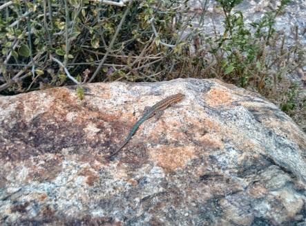 blue tail lizard